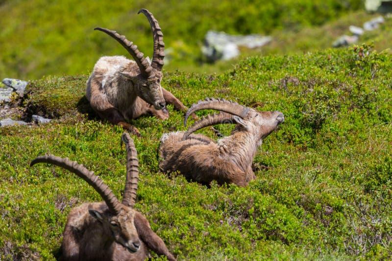 三放松的自然男性高山山羊属高地山羊capricorns坐 免版税库存照片