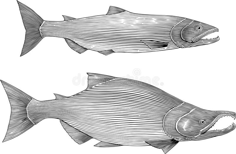 三文鱼 向量例证