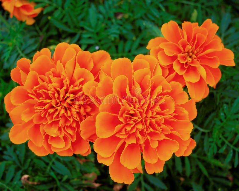 三朵橙色万寿菊花在庭院里 免版税库存图片