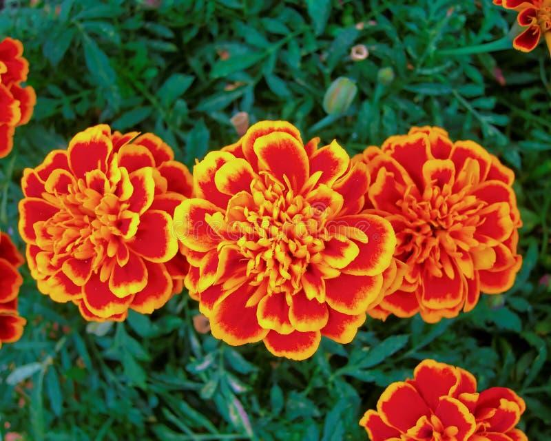 三朵橙色万寿菊花在庭院里 库存照片
