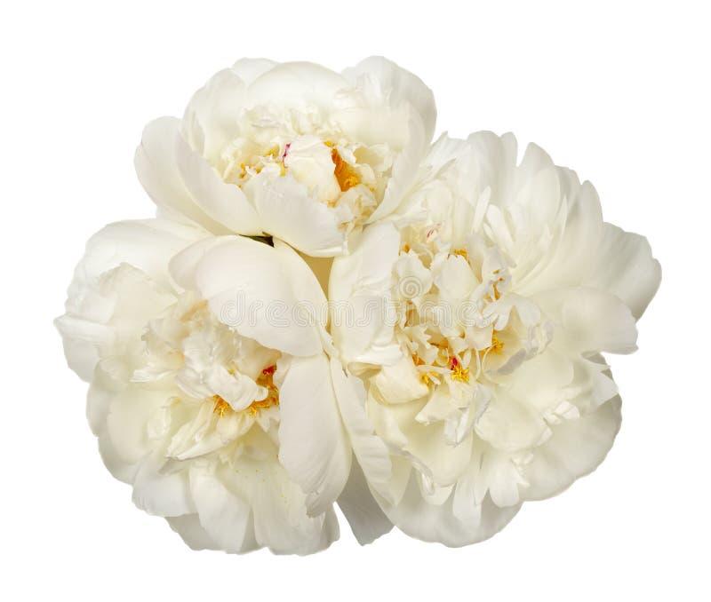 三朵白色牡丹花 免版税库存照片