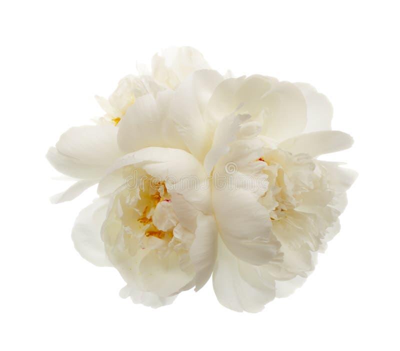 三朵白色牡丹花 免版税库存图片
