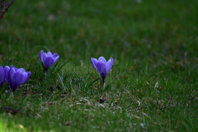 三朵紫色花在庭院里 库存照片