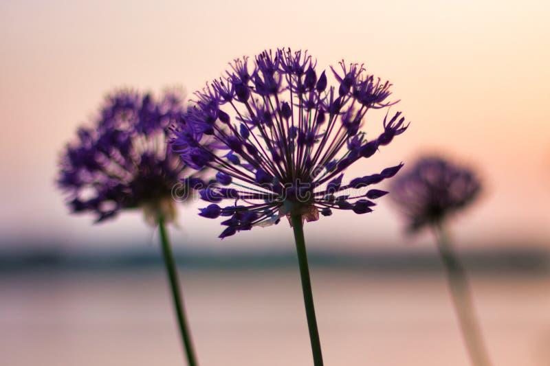 三朵花剪影在日落的 免版税库存照片