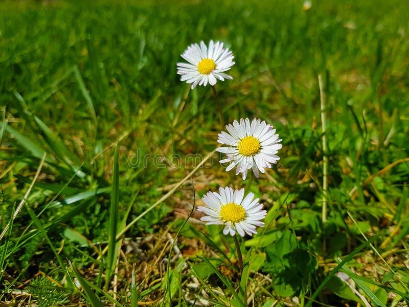 三朵雏菊的图片与草底部的 免版税库存图片