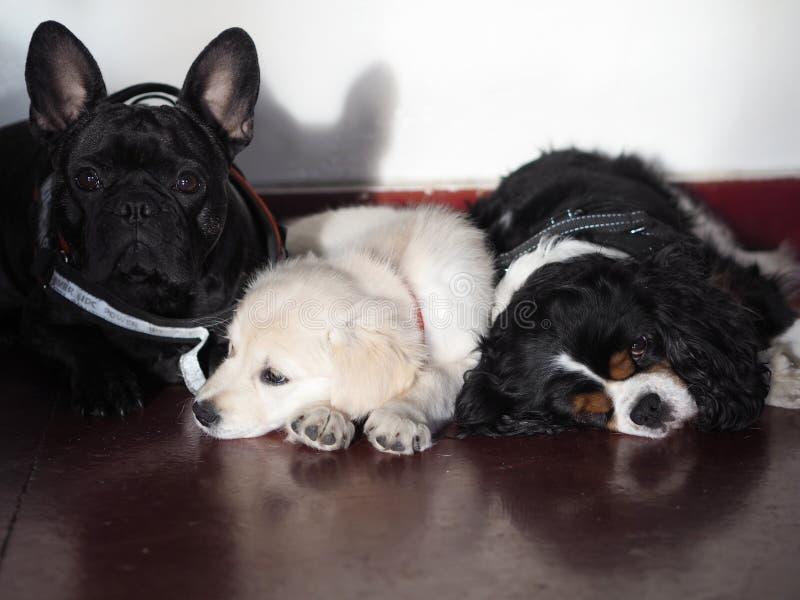 三条小狗在等待他们的步行的大门前面站立 免版税库存图片