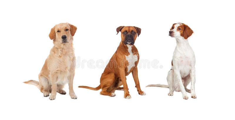 三条狗美丽的充分的画象  库存图片