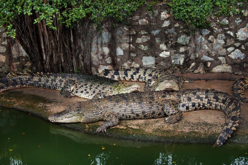 三条鳄鱼 图库摄影