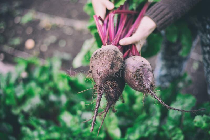 三棵成熟红色甜菜在以菜园为背景的女性手上 库存图片