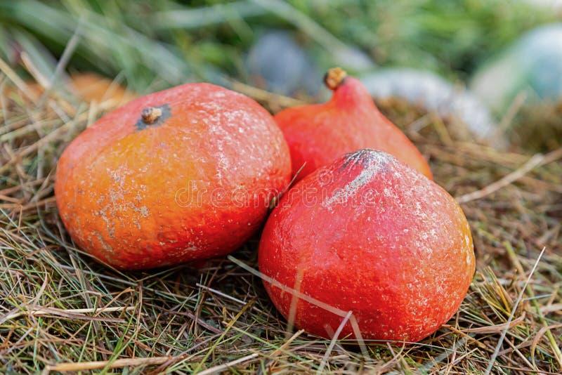 三棵橙色在米黄干草特写镜头秋天收获背景的南瓜菜微型回合  库存照片