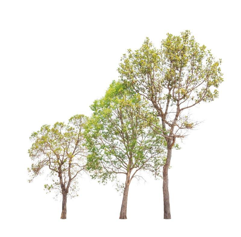三棵热带树在泰国在白色背景隔绝了 库存照片