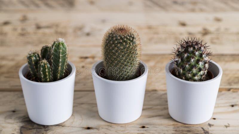 三棵仙人掌植物行  免版税库存图片