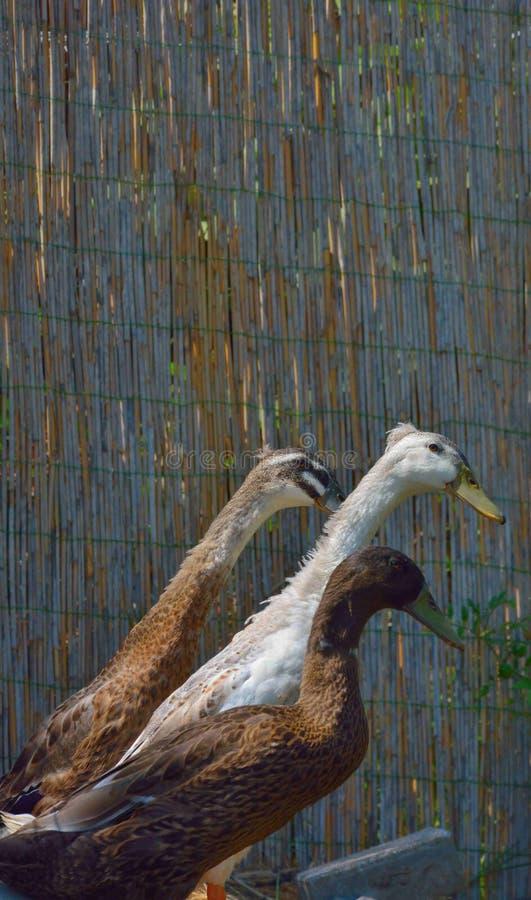 三滑稽的看起来的加拿大鹅 免版税库存图片