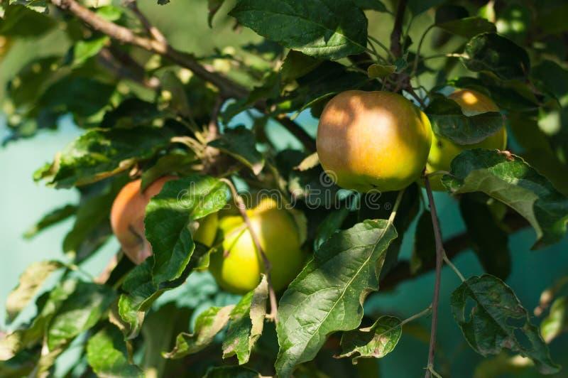 三片苹果和叶子在树 库存照片