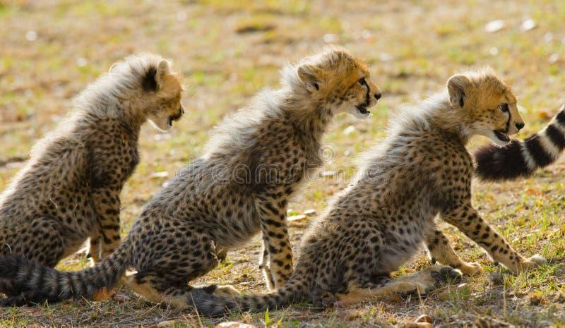 三猎豹崽坐一在其他后 肯尼亚 坦桑尼亚 闹事 国家公园 serengeti 马赛马拉 图库摄影
