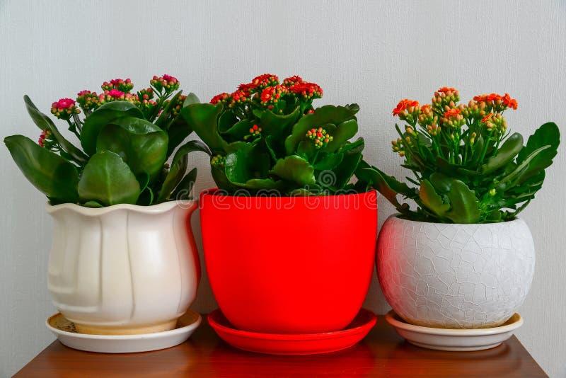 三盆的花在内部的Kalanchoe 免版税库存图片