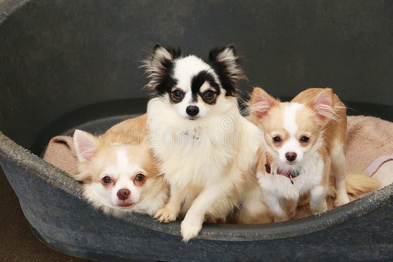 三美丽的小奇瓦瓦狗在狗窝一起在 库存照片