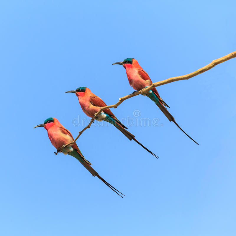 三群食蜂鸟坐分支 库存图片