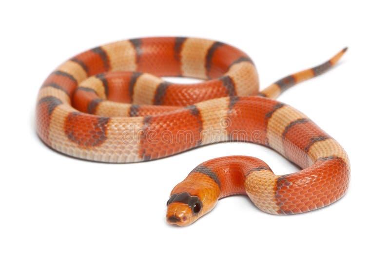 三色洪都拉斯hypomelanistic牛奶的蛇 免版税库存图片