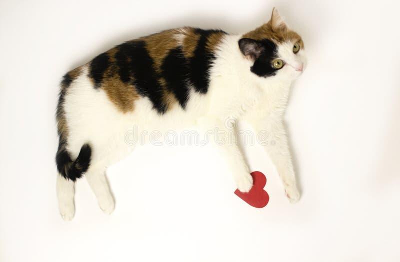 三色猫_三色猫在与红色心脏的白色背景说谎 颜色猫-黑色,红色和白色