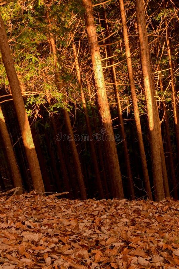 三色的森林,日光日本 免版税库存图片