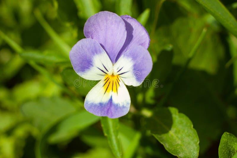 三色美丽的花的中提琴或者蝴蝶花 库存图片