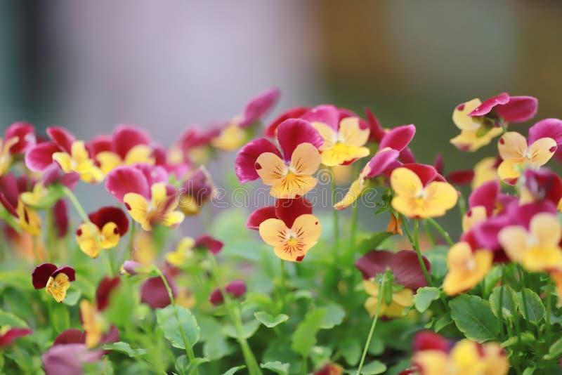 Download 三色蝴蝶花花植物自然后面地面, 库存例证. 插画 包括有 颜色, 招标, 季节性, 蓝色, 开花, 特写镜头 - 112730996