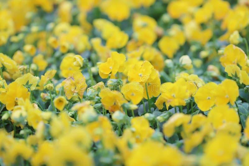 Download 三色蝴蝶花花植物自然后面地面, 库存例证. 插画 包括有 开花, 玻色子, 中提琴, 虚拟, beauvoir - 112732030