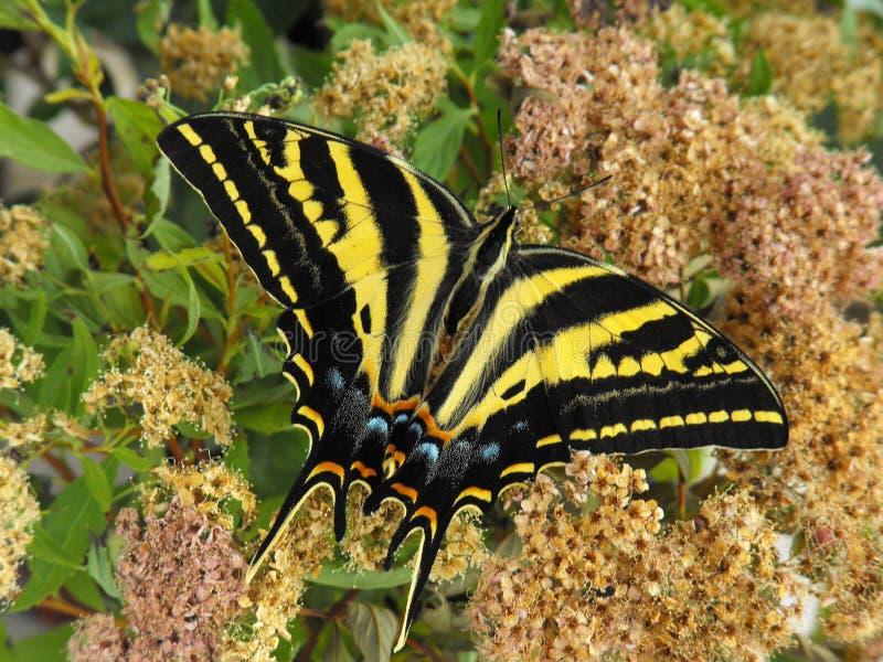 三被盯梢的Swallowtail 免版税图库摄影