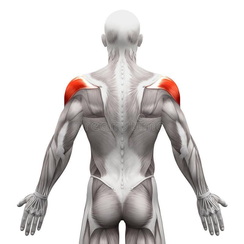 三角肌-在白的3D illustra隔绝的解剖学肌肉 向量例证