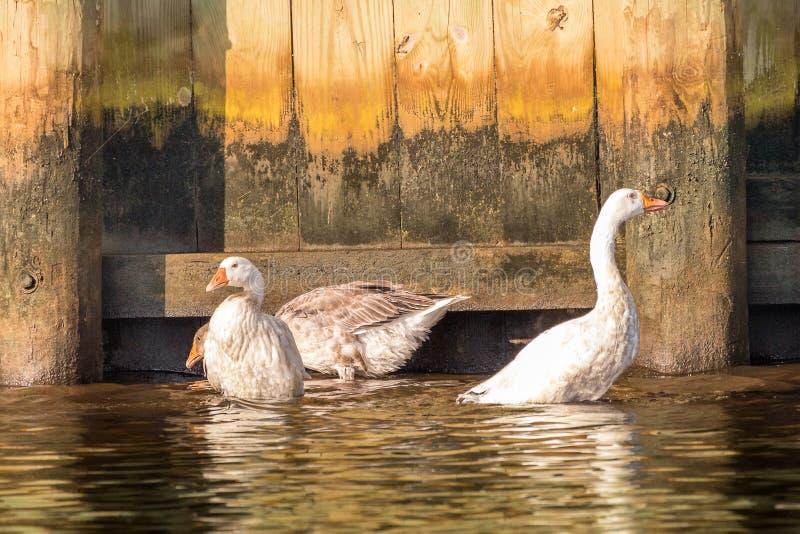 三趟过在Tuckerton小河的白色鹅 库存图片