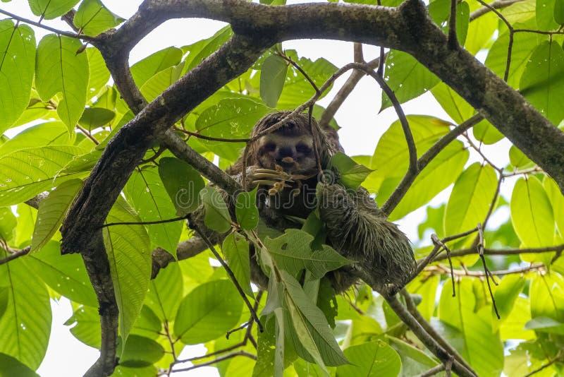 三趾怠惰(;Bradypus infuscatus);采取在哥斯达黎加 库存图片