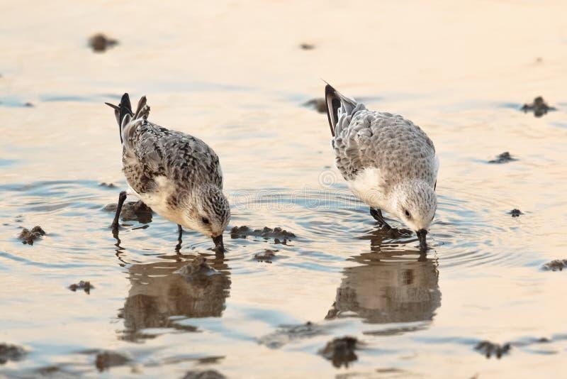 三趾滨鹬趟水者或水鸟,晨曲的Calidris 英国 免版税库存图片