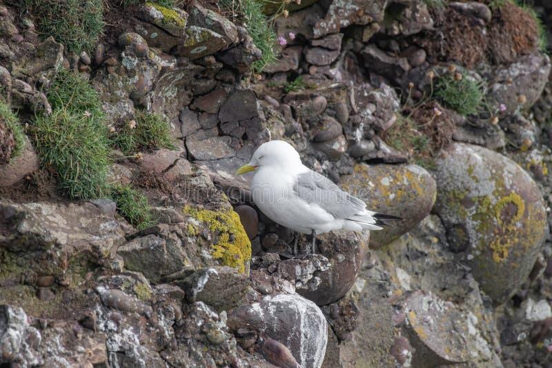 三趾鸥在五月岛的峭壁的礼萨tridactyla 库存图片