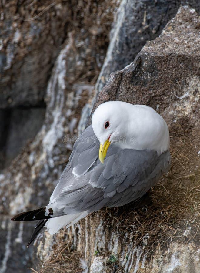 三趾鸥在五月岛的峭壁的礼萨tridactyla 图库摄影