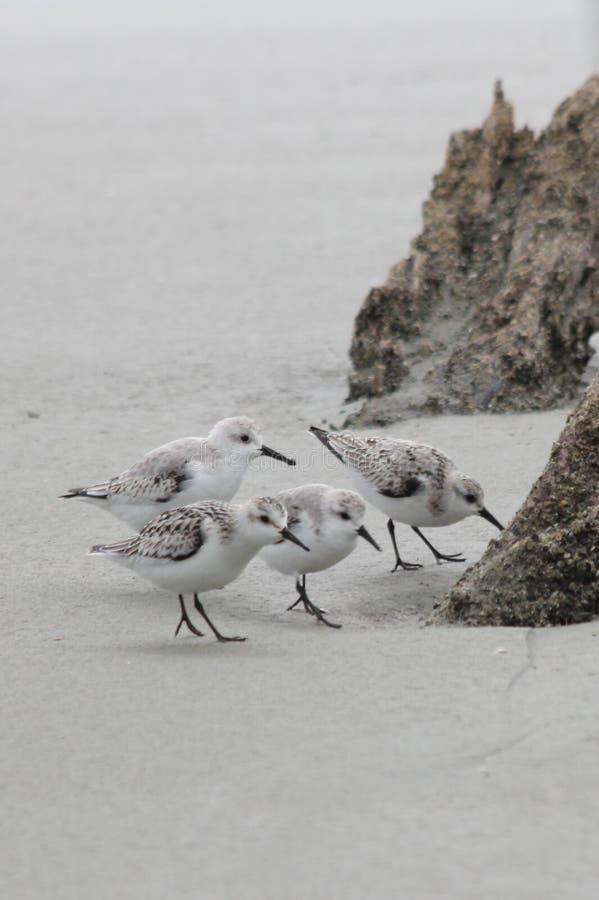 三趾滨鹬四 图库摄影
