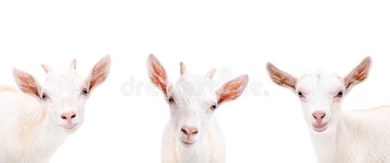 三逗人喜爱的山羊画象  库存照片