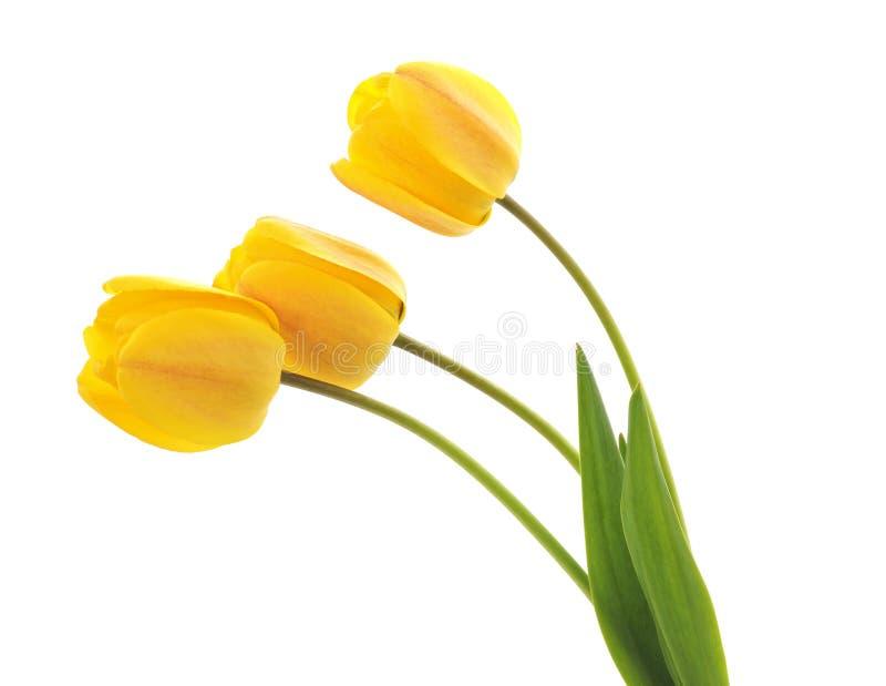三郁金香黄色 库存图片