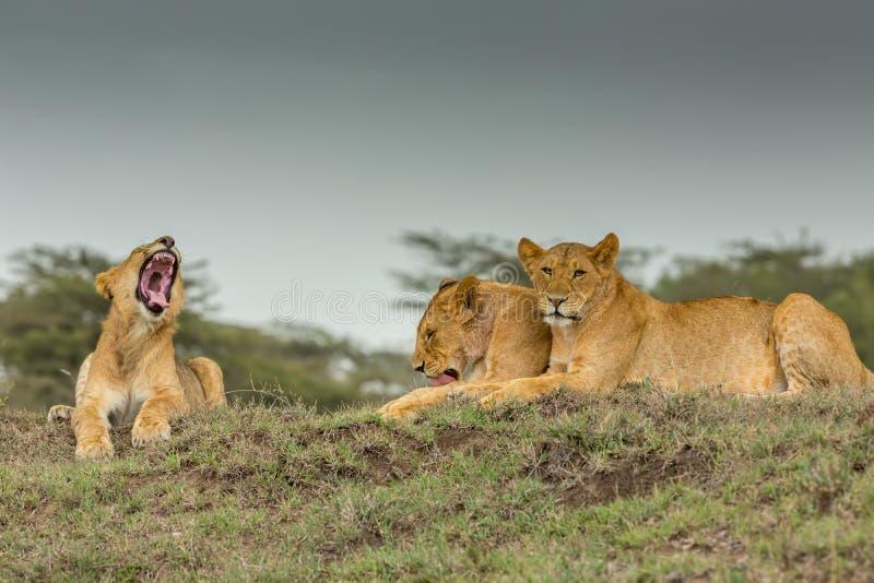 三雌狮 库存照片