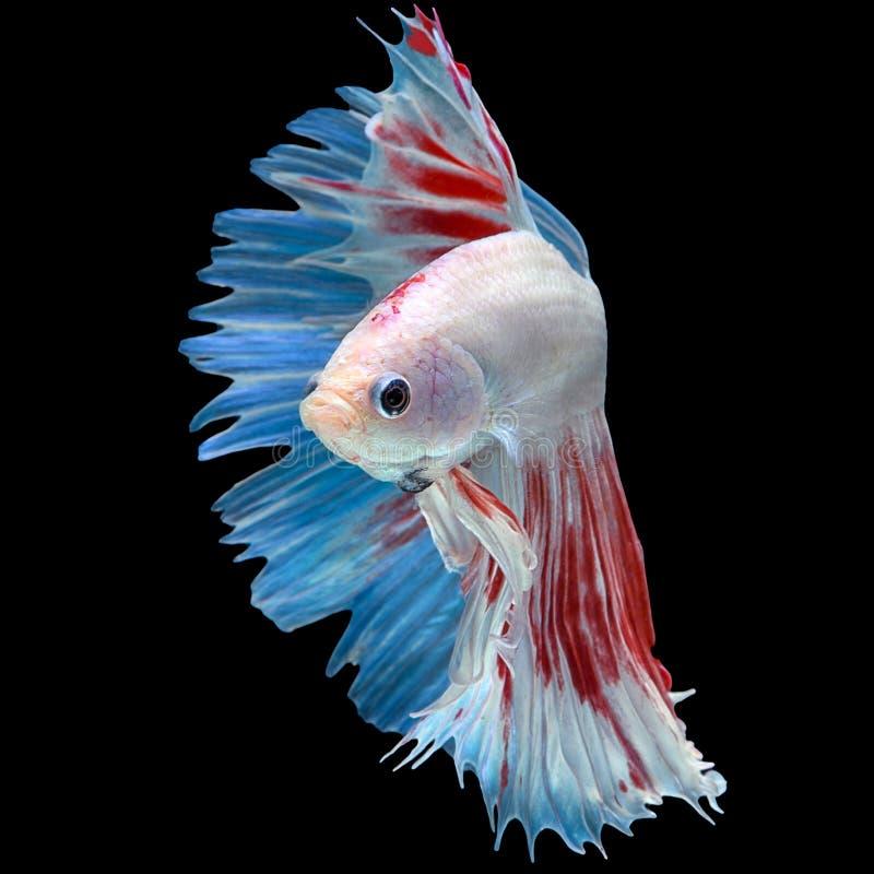 三颜色红色蓝色白色长尾巴半月Betta或暹罗无花果 库存照片
