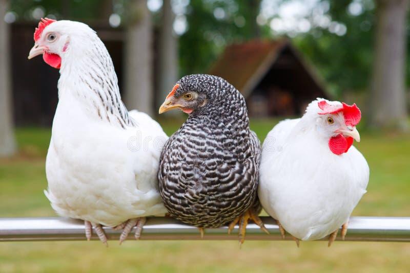 三鸡 免版税库存照片