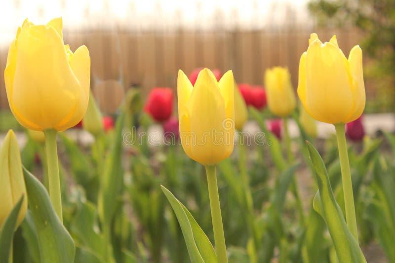 三黄色郁金香特写镜头在一个花园里春天在荷兰 免版税库存照片