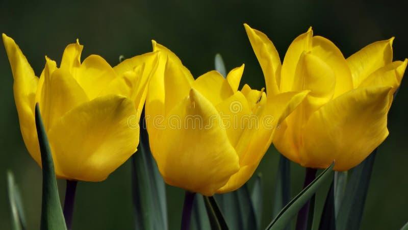 三黄色郁金香 库存照片