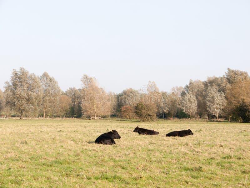 三黑奶牛场威胁休息在领域秋天阴云密布 库存照片