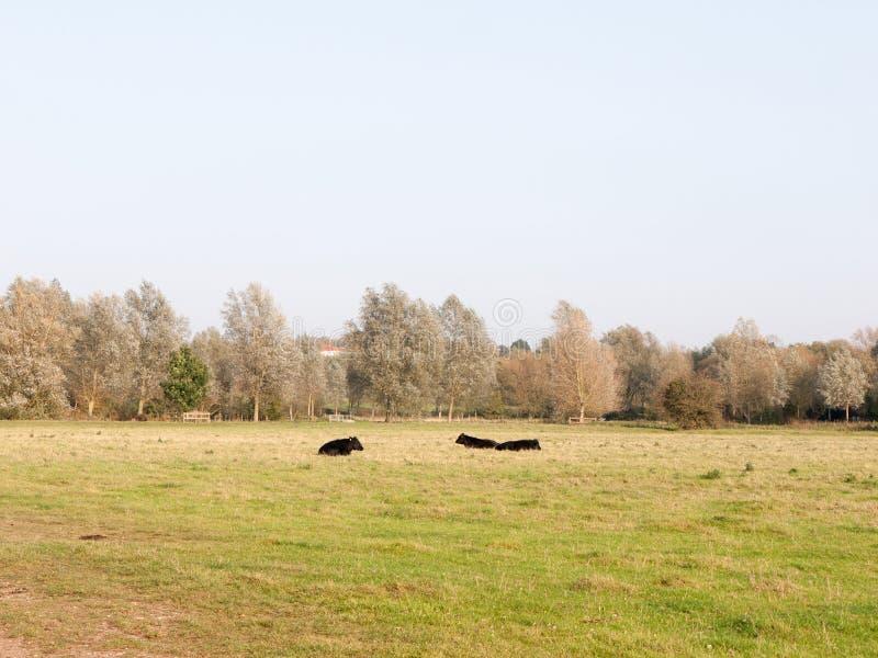 三黑奶牛场威胁休息在领域秋天阴云密布 免版税库存图片