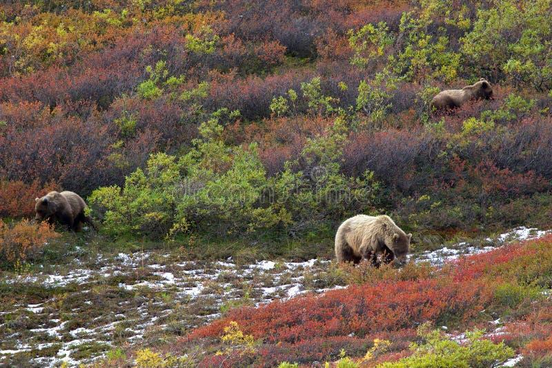 三头北美灰熊在寒带草原 免版税库存照片