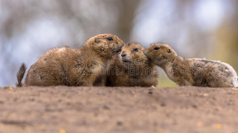 三黑被盯梢的草原土拨鼠 免版税库存照片