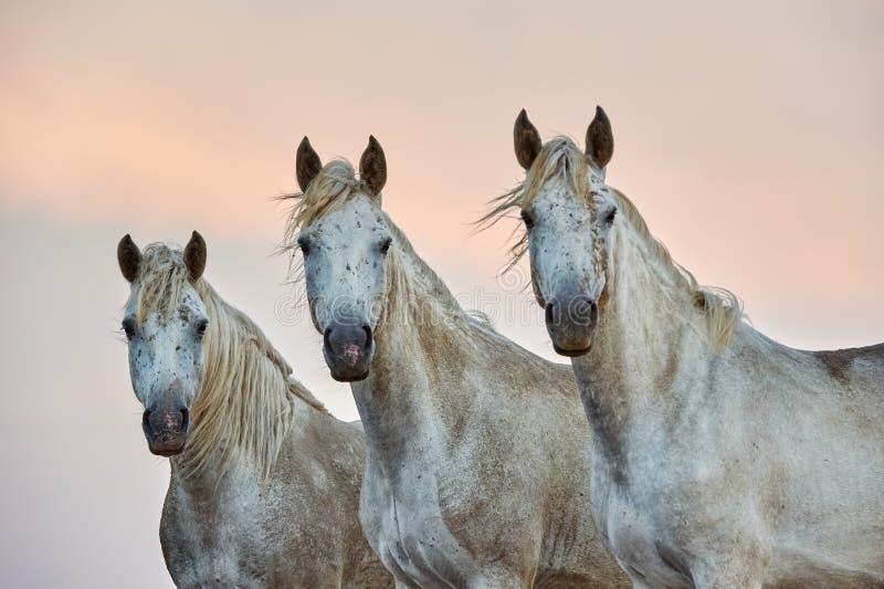 三camargue马的画象 免版税图库摄影