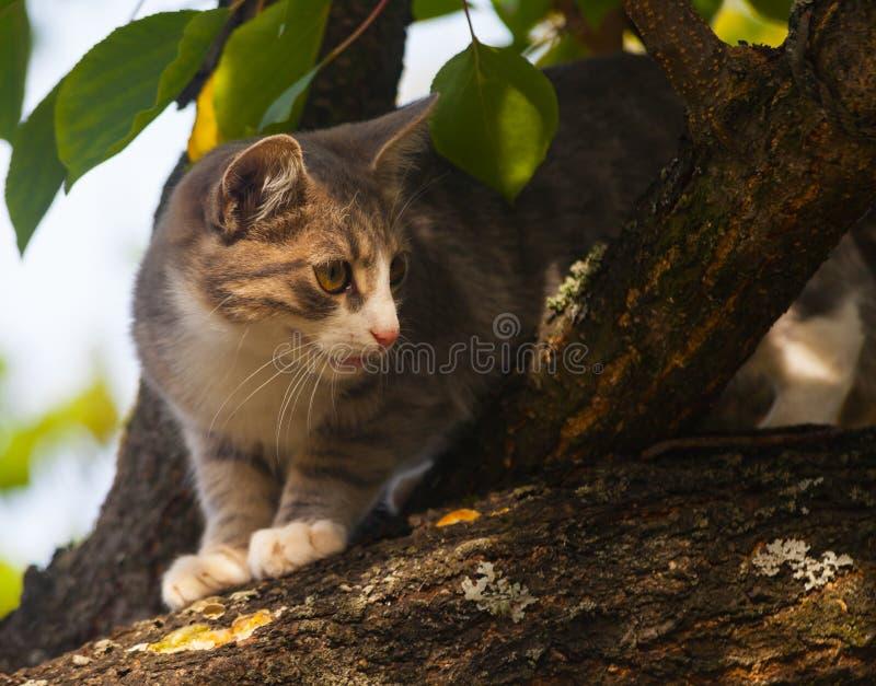 上升下来从树的美丽的灰色虎斑猫 免版税库存照片