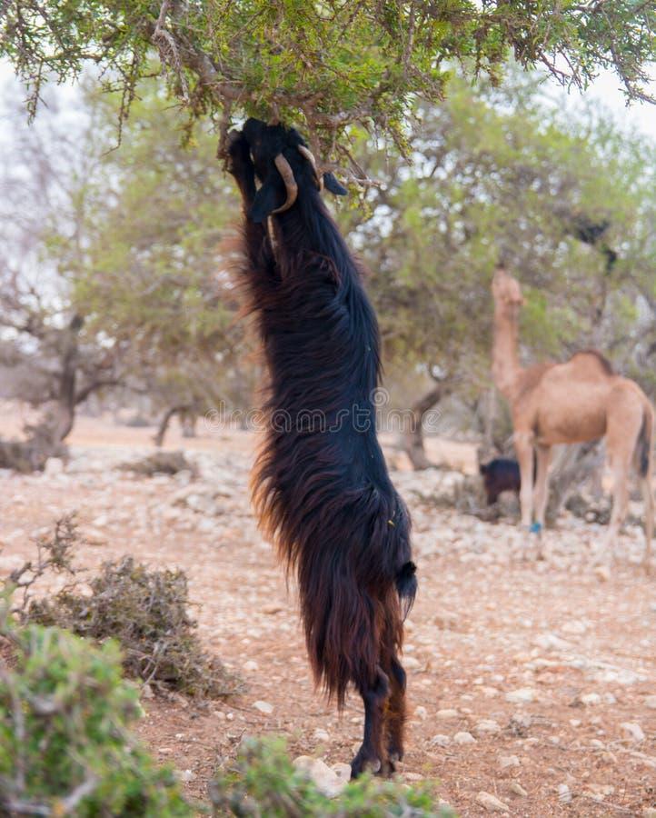 上升在圆筒芯的灯树的布朗山羊吃摩洛哥索维拉 库存图片